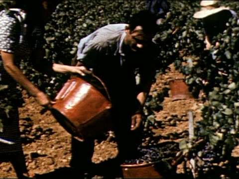 LS men and women picking grapes from vines in vineyard / CU man picks bunch of grapes and holds them up / Woman dumps one basket of grapes into...