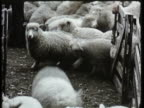 1955 MONTAGE WS MS CU Men herding sheep into corral, then loading animal into truck, man stamping lamb meat hanging on hooks / New Zealand / AUDIO