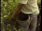 Men picking coca leaves/ WS PAN Lush mountains/ WS ZO River in valley/ MS Men picking leaves/ WS Children on porch/ MS Pig/ Colombia/ AUDIO