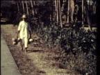 1958 MS LA CU MONTAGE Men picking cocoa beans, coconuts and bananas form plantation trees / Panama / AUDIO