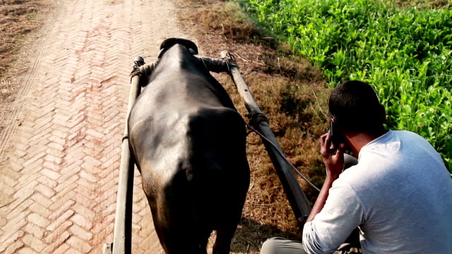 Men riding buffalo cart to the field & talking on mobile phone