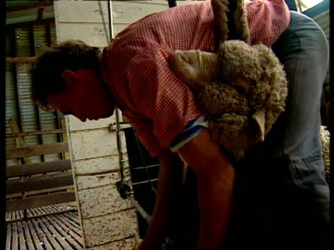 CU Men shearing sheep in shed, pan left
