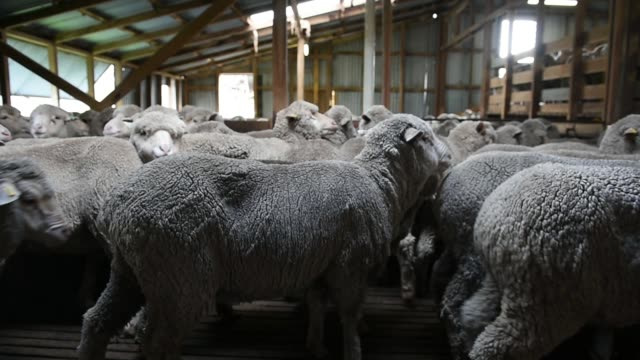 Merino sheep stand inside a holding pen near the shearing platform at the Lal Lal Estate sheep farm owned by Tianyu Wool Industry Co in the town of...