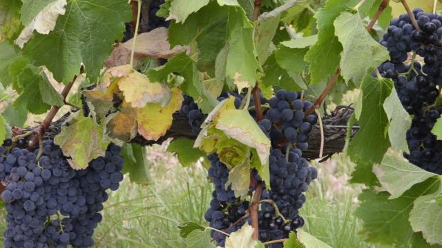 Merlot Grapes in  beautiful Capel Vale Winery in Western Australia Australia