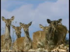 Mesopotamian Fallow Deer, Dama mesopotamica, MS group of adult females and fawns looking to camera and grazing, Israel