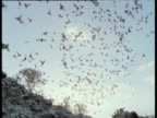 Mexican Free Tailed Bats fly overhead, Eckert James River Bat Cave