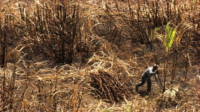 Mexico: Sugar cane harvest, cutting step