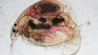 Microorganism - Daphnia