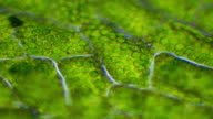Microscopic footage of plant leaf cells showing chloroplasts containing chlorophyll