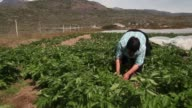 Mid Shot Arnaq Egede works among the plants in her family's potato farm on July 31 2013 in Qaqortoq Greenland The farm the largest in Greenland has...
