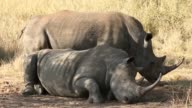 Mid shot Two White Rhinoceros are resting in the shade from the scorching sun in Kruger National Park The Kruger National Park was established in...