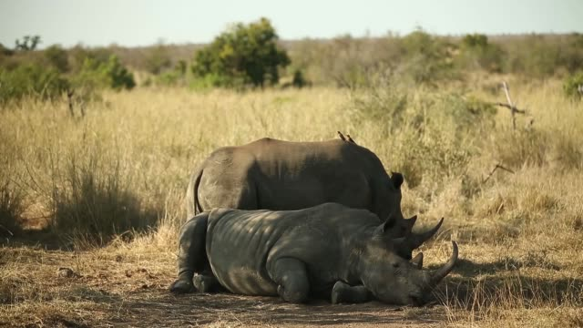 Mid shot Two White Rhinoceros are resting in the shade in Kruger National Park The Kruger National Park was established in 1898 and is South Africa's...