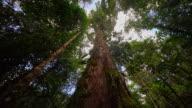 LA Mighty tree in the rainforest