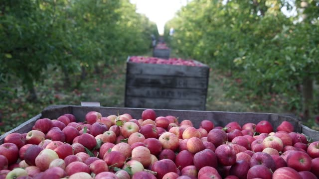 Migrant workers pick Gala apples and place them in crates in an orchard owned by Rasch Family Orchards in Grand Rapids Michigan US on Tuesday Sept 26...