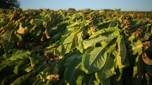 Migrant Workers walk thorugh fields of Burley tobacco grown by Tucker Farms in Finchville Kentucky US on Tuesday Sept26 2017 Photographer Luke...