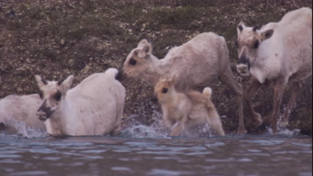 A migrating caribou herd enters a deep river. Available in HD.