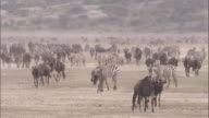 Migrating herd of wildebeest and zebra. Available in HD.
