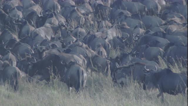 Migrating herd of wildebeest on savannah, Masai Mara, Kenya. Available in HD.