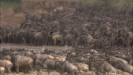 Migrating wildebeest cross Mara River, Africa.