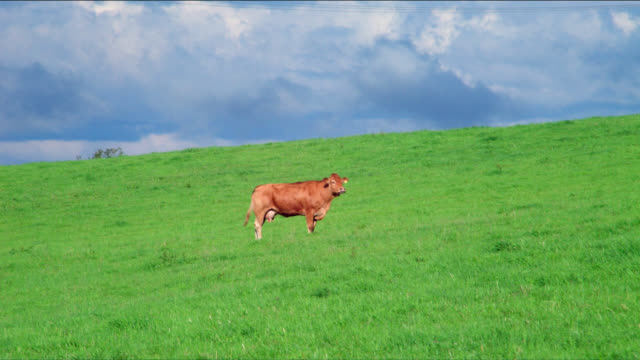 A milk cow and her calf walk through a green meadow.