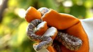 Milk snake king snake
