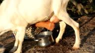 Milking a goat at sunrise