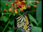 CU Milkweed butterfly and heliconid butterfly feeding on flowers