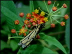 CU Milkweed butterfly and heliconid butterfly, flying and feeding on flowers