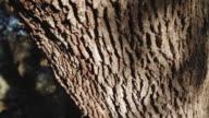 C/U millenial holm oak trunk (dolly track)