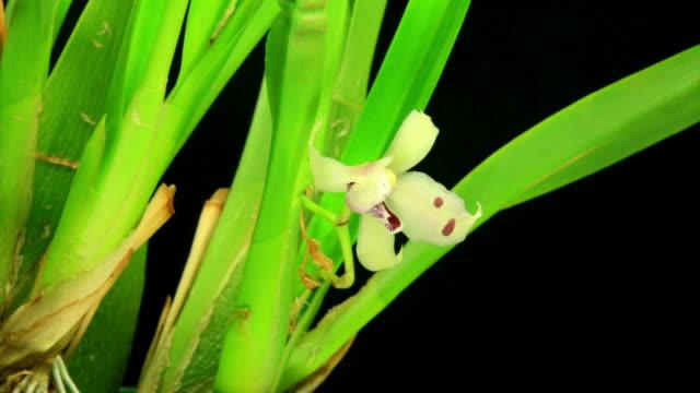 Blühende Miltonia orchid