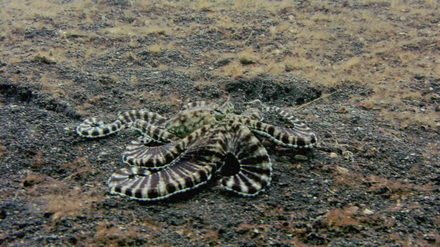 Mimic octopus (Thaumoctopus mimicus) moving over a sandy seabed.