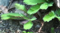 Mimosa leafs retracting