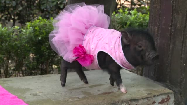 Mini pigs are the new pet craze in Mexico City where growing numbers are opting for porcine companions over canines