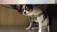 miniature chihuahua tilting it's head