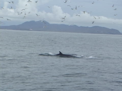 Minke whale diving with gulls and land in background.