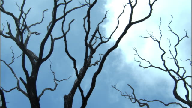 Mist drifts over dead tree branches, Hawaii