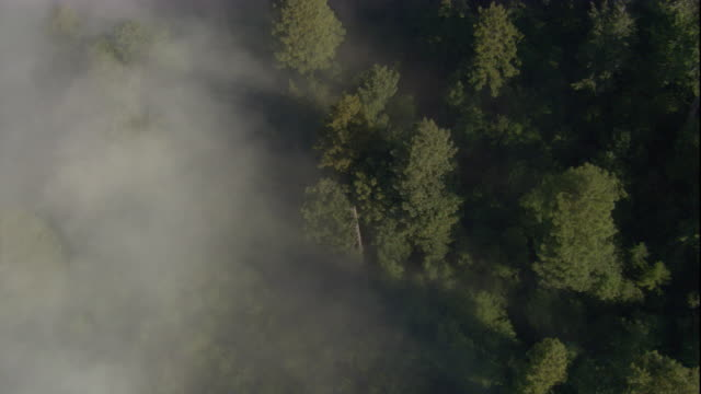 Mist partially obscures a redwood forest in California. Available in HD.