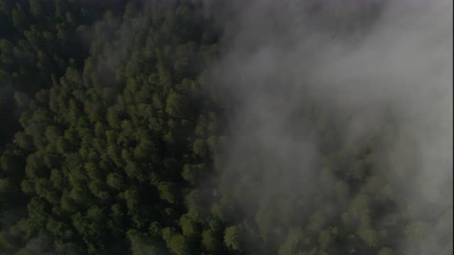 Misty clouds drift above a redwood forest in California. Available in HD.