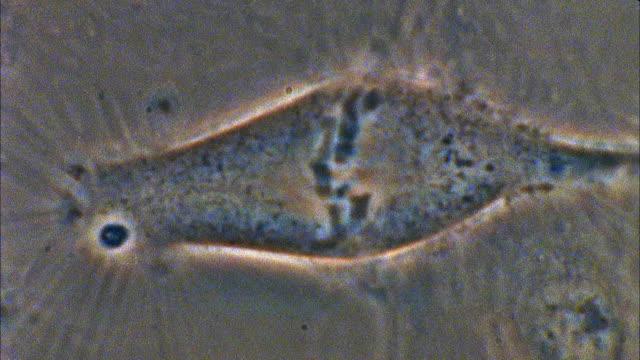 T/L, ECU, Mitosis of Potoroo (Potorous) cell