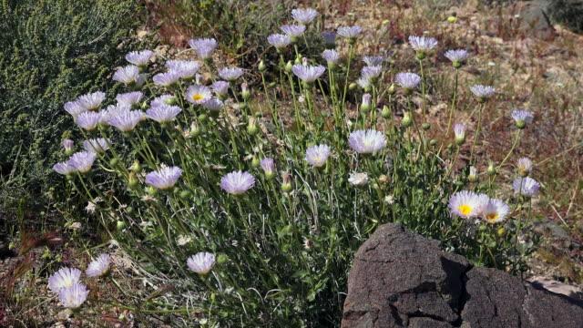 Mohave Aster, Xylorhiza tortifolia, Joshua Tree National Park