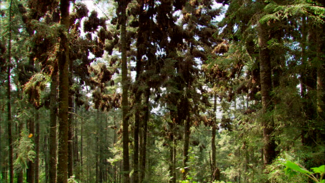 Monarch butterflies fly around and cluster together on trees. Available in HD.