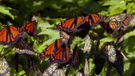 CU PAN Monarch butterflies resting on maple tree during migration / Madoc, Ontario, Canada