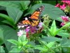 Monarch Butterfly 3 NTSC