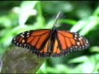 Monarch Butterfly 4 NTSC