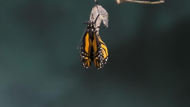 T/L Monarch butterfly (Danaus plexippus) emerging