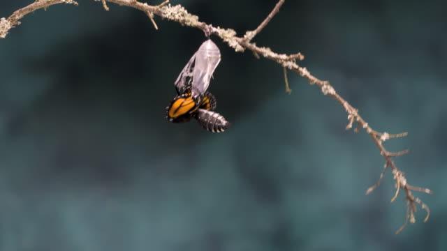 T/L Monarch butterfly (Danaus plexippus) emerging wide