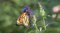 Monarch butterfly feeding on purple flower