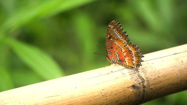Monarchfalter auf einem Bambus-Baum