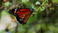 Monarch Butterfly On Leaf, Close-up HD