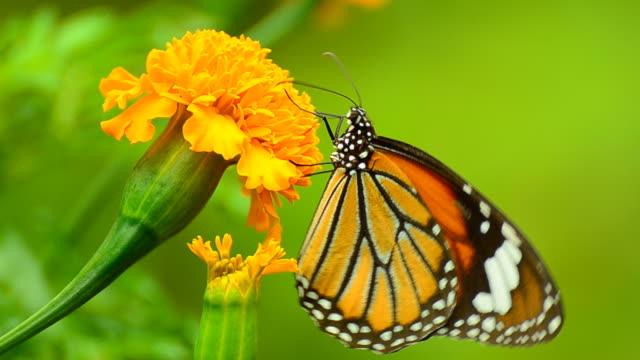 Monarch Butterfly on yellow Flower